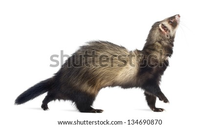 Ferret walking and looking up, isolated on white