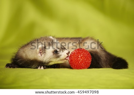Ferret with red plastic ball in studio - stock photo