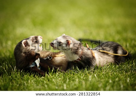 Ferrets on leash posing and enjoying their walk and game in park - stock photo