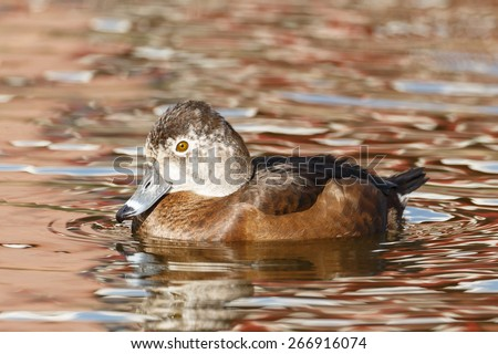 Ferruginous duck or Ferruginous pochard