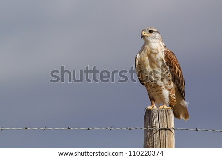 "Ferruginous Hawk.  This highly detailed image clearly shows the large ""gape', which differentiates the F. Hawk from the Red-tailed Hawk.  Fort Pierre National Grassland, South Dakota prairie - stock photo"