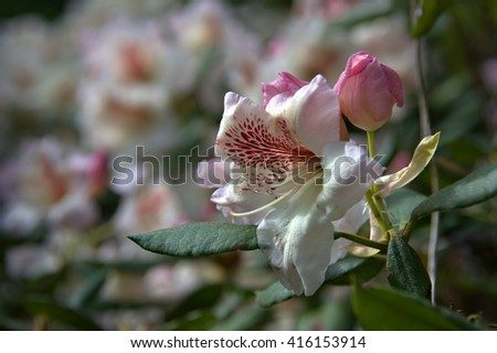 Festival of Rhodos Single rhododendron flower bud in a close up capture. - stock photo