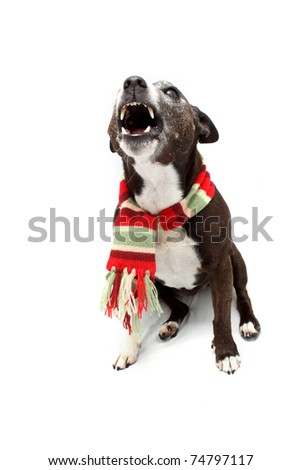 Festive Staffordshire Terrier cross breed - stock photo