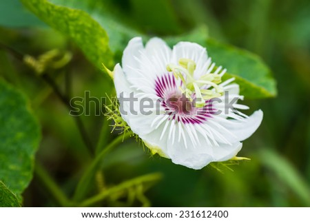 fetid passionflower, scarlet fruit passionflower, stinking passionflower  at countryside. - stock photo