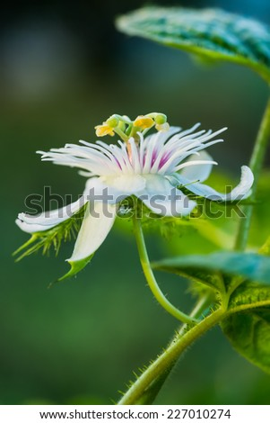 fetid passionflower, scarletfruit passionflower, stinking passionflower  at countryside - stock photo