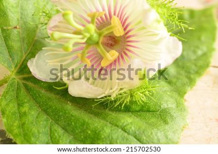 Fetid passionflower, Scarletfruit passionflower, Stinking passionflower (Passiflora foetida) - stock photo