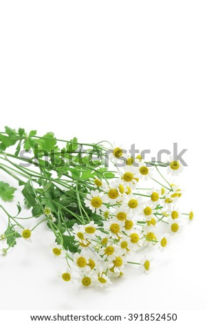 Feverfew flowers on white background