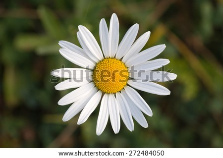 Feverfew (Tanacetum parthenium) against natural green background