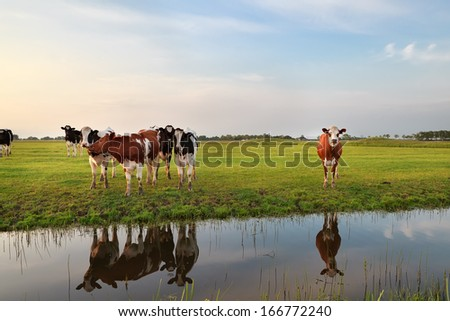 few cows by river in sunset sunlight, Holland - stock photo
