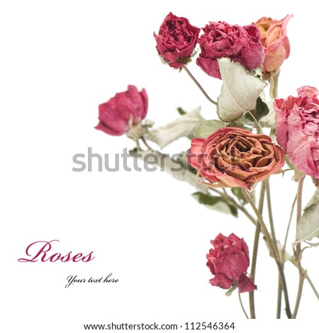 Few dried roses on a white background. - stock photo