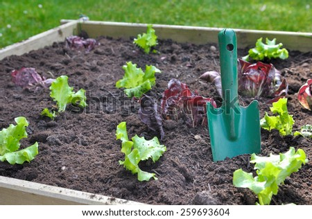 few lettuce plant with gardening tool in soil of a patch  - stock photo