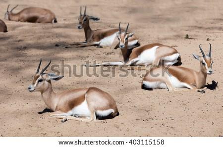 Few Saharian Dorcas Gazelles sitting on sand in wildness - stock photo