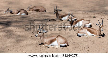 Few sitting dorcas gazelles (Gazella dorcas) on sandFew Saharian Dorcas Gazelles  on sand in wildness - stock photo