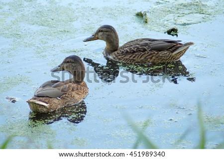 Few wild ducks on the pond (wild birds) - stock photo