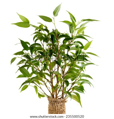 Ficus benjamina.  Isolated on white. Shallow depth of field. - stock photo