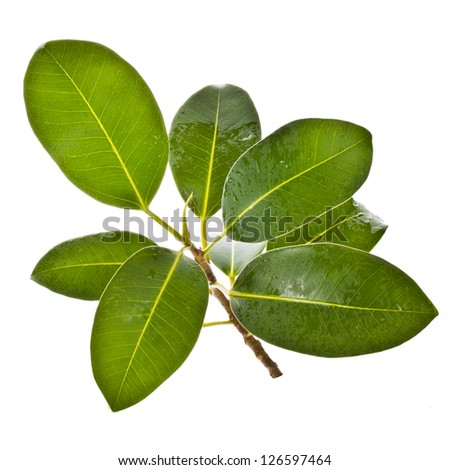 ficus branch, rubber plant, with drops of water close-up. isolated on white background - stock photo