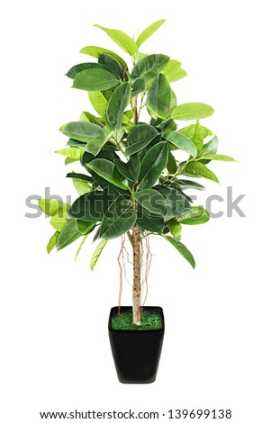 ficus tree stock photos images pictures shutterstock