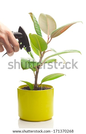 ficus flower in a pot and spray gun in hand isolated on white