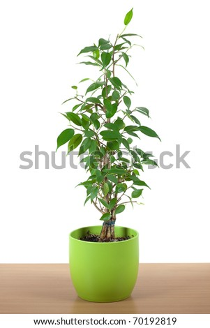 ficus in a pot on the table isolated on white