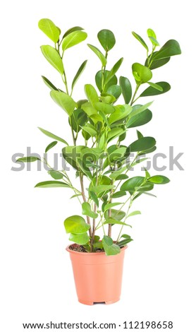 Ficus in the brown pot isolated on white background