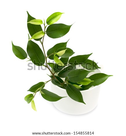ficus isolated - stock photo