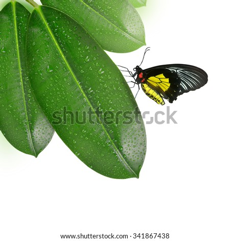 Ficus leaves with butterfly isolated on white - stock photo