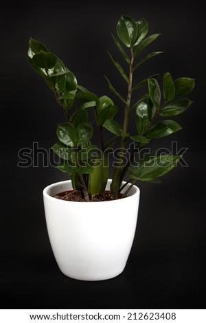 Ficus plant - stock photo