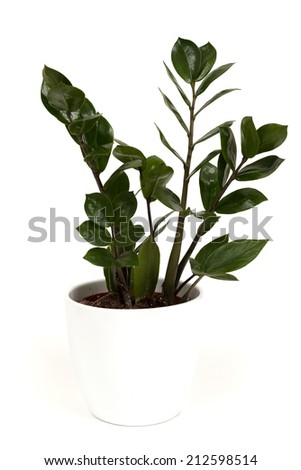 Ficus plant on white background - stock photo