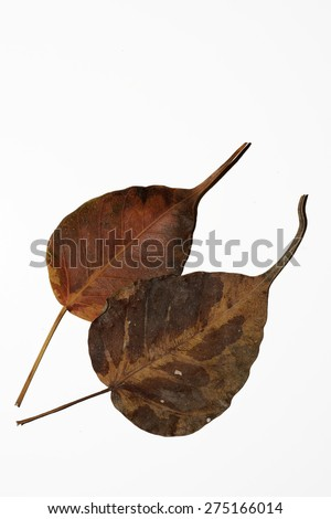 Ficus religiosa or sacred fig is a species of fig native to Nepal, India, Bangladesh,Myanmar, Pakistan,Sri Lanka, south-west China and Indochina.It belongs to the Moraceae, the fig or mulberry family. - stock photo