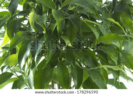 ficus tree leaves background. natural green background - stock photo