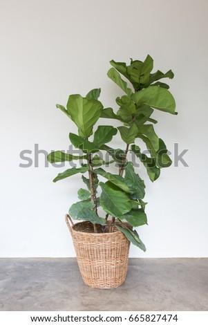 fiddle leaf fig tree on wicker basket