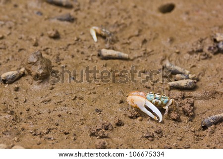 fiddler crab have asymmetric claw - stock photo