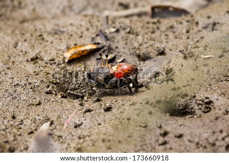 fiddler crab on sand beach.  - stock photo