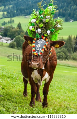 FIEBERBRUNN, AUSTRIA - SEPT 15: Decorated cow at Almabtrieb. A ceremonial driving down of cattle from the mountain pastures into the valley in autumn in Fieberbrunn, Austria on September 15, 2012.