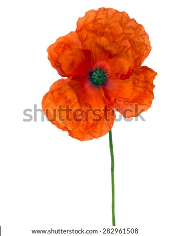 Field aka Flanders poppy isolated on white, War remembrance.