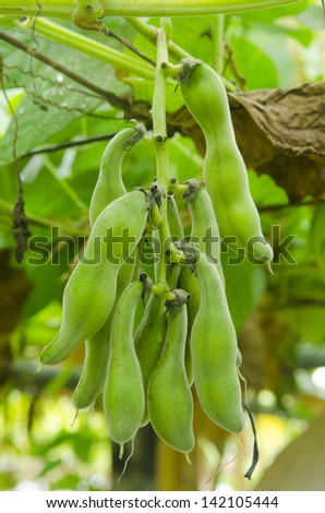field beans soybeans in early autumn - stock photo