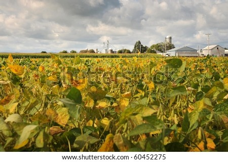 field beans soybeans in early autumn with farm