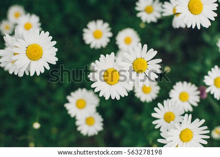 Field big daisies in the green grass. Field with daisies
