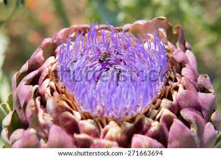 Field blooming artichoke with purple flowers - stock photo