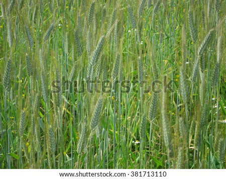 Field campaign consists of grass and green ears of corn - stock photo