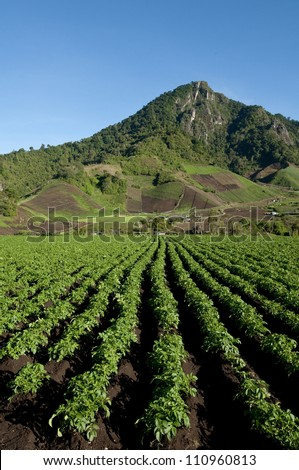 Field containing drills of potato plants growing, Cerro Punta village, Chiriqui province, Panama, Central America
