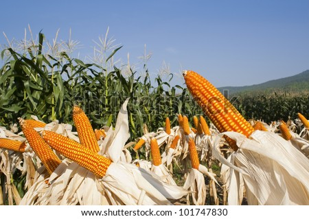 field corn for feeding livestock (livestock fodder) - stock photo