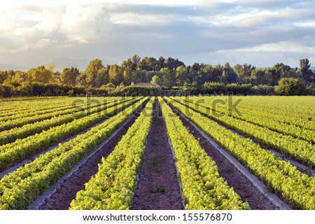 Field cultivation of vines for winemaking.