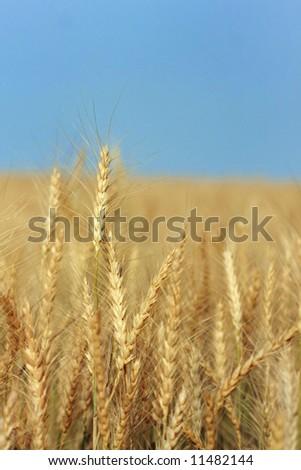 field ear wheat bread - stock photo