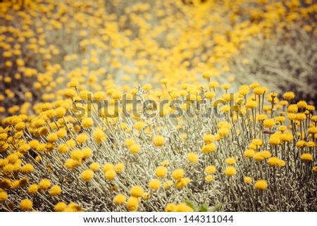 Field flowers/buttercup. yellow flower/spring background