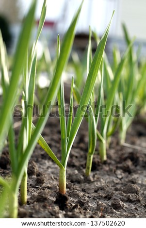 Field garlic - stock photo