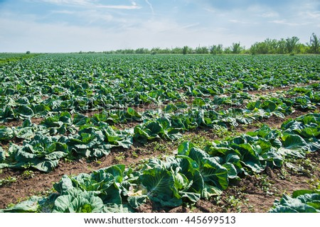 Field growing cabbages. Sunny summer day. Landscape.