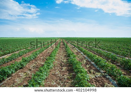 Field growing tomatoes. Sunny summer day. Landscape. - stock photo