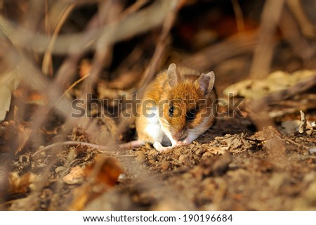 field mouse in natural habitat - stock photo