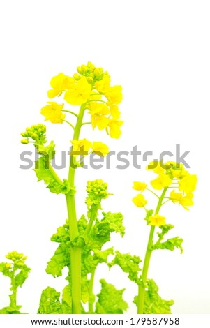Field mustard - stock photo